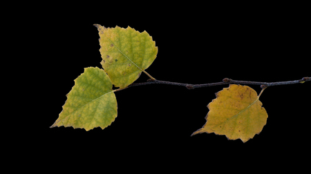 yellowing birch leaves on a uniform background