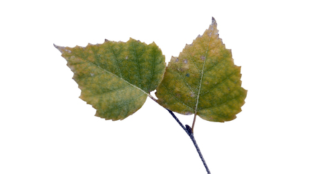 birch leaves 스톡 콘텐츠