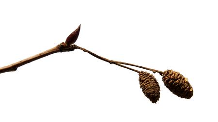 on a branch of alder cones white background Archivio Fotografico - 113478248