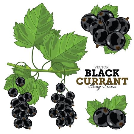 Schwarze Johannisbeere mit Blättern, Vektor. Isoliert auf weißem Hintergrund. Für Design-Verpackung Saft, Joghurt und andere.