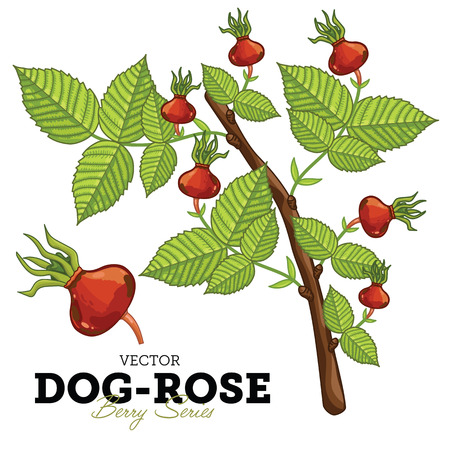 dog rose: Set Dog Rose Compositions, Dog Rose Leaves, Dog Rose Vector, Cartoon illustration of Dog Rose. Dog Rose Isolated on White Background. Dog Rose Berries. Wild Rose. Illustration