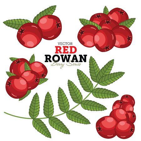 Rowan Compositions, Rowan Leaves, Rowan Vector, Cartoon illustration of Rowan. Rowan Isolated on White Background. Bunch of Juicy Rowan Berries.