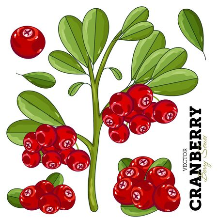 cranberry: Cranberry Composition, Cranberry Leaves, Cranberry Vector, Cartoon illustration of Cranberry. Cranberry Isolated on White Background. Bunch of Cranberry. Illustration