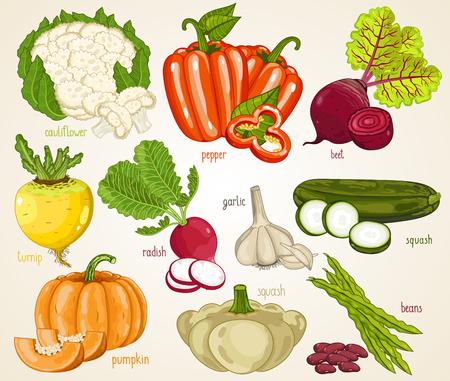 turnip: Vegetables isolated, Vegetable mix. Organic food, farm food. Vegetables vector, vegetables icon. Set of vegetables. Fresh vegetable, cauliflower, turnip, pepper, onion, pumpkin, squash, garlic, beet.
