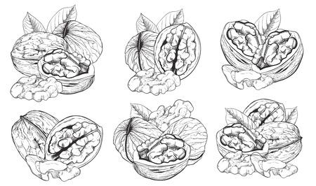 Walnut op een witte achtergrond in vintage stijl. Vector Walnut stellen. Vector Illustratie