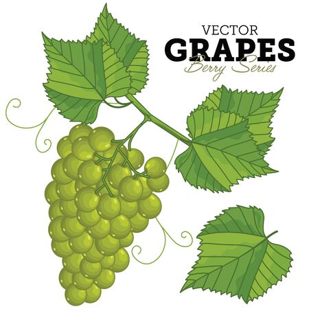 uvas: Uva aislado sobre fondo blanco.