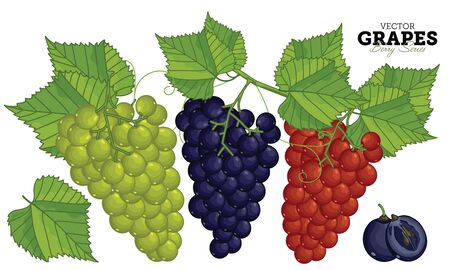 grapes in isolated: Grape isolated on white background.