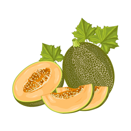 Isolated melon on white background. Vector illustration.