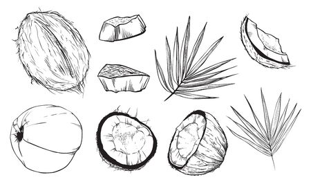 coconut leaves: Coconut on white background. Coconut leaves. Engraved vector illustration of leaves and fruits of coconut. Isolated coconut.
