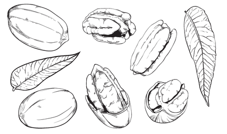 pecan: Pecan on white background. Pecan seeds. Engraved vector illustration of leaves and nuts of peacan. Isolated pecan. Vector illustration. Illustration