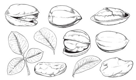pistachio: Pistachio on white background. Pistachio seeds. Engraved vector illustration of leaves and nuts of Pistachio. Isolated pistachio.