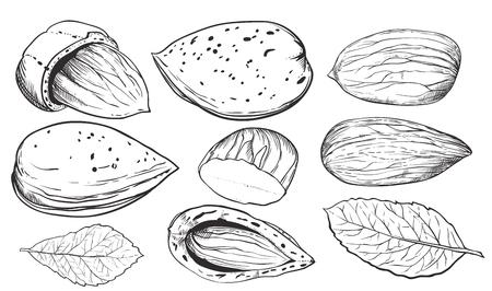 白い背景のアーモンド。アーモンドの種子。葉とアーモンドのナッツの刻まれたベクトル イラスト。孤立したアーモンド。