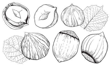 Hazelnut on white background. Hazelnut seeds. Engraved vector illustration of leaves and nuts of hazelnut. Isolated hazelnut.
