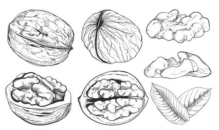 walnut: Walnut on white background. walnut seeds. Engraved vector illustration of leaves and nuts of walnut. Isolated walnut.