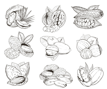 walnut: Isolated nuts on white background. Engraved vector illustration of leaves and nuts of pistachio, pecan, walnut, coconut, cocoa, hazelnut, almond, peanut. Set of mixed nuts.