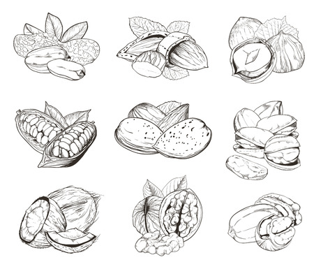Isolated nuts on white background. Engraved vector illustration of leaves and nuts of pistachio, pecan, walnut, coconut, cocoa, hazelnut, almond, peanut. Set of mixed nuts.