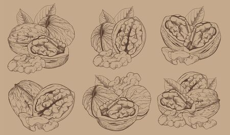 walnut: Walnut on light brown background. walnut seeds. Engraved vector illustration of leaves and nuts of walnut. Isolated walnut. Illustration