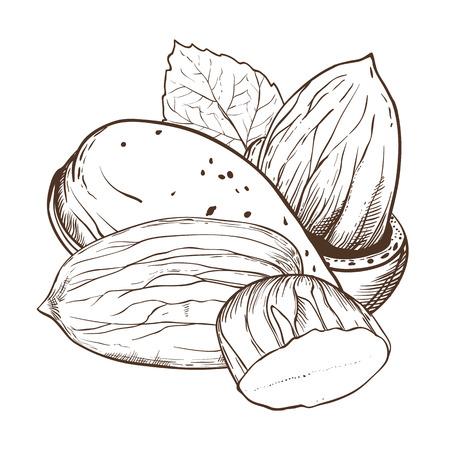 アーモンド ベクトルは、白い背景で隔離。アーモンドの種子。葉とアーモンドのナッツの刻まれたベクトル イラスト。ビンテージ スタイルのアー