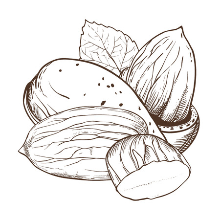 Almond vector isolated on white background. Almond seeds. Engraved vector illustration of leaves and nuts of Almond. Almond in vintage style.