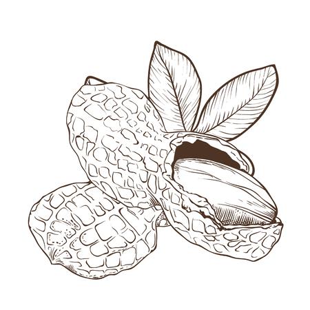 nourishing: Peanut vector isolated on white background.
