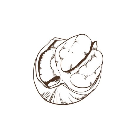 pecan: Pecan vector isolated on white background. Illustration