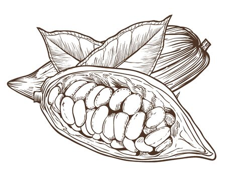 Cocoa vector isolated on white background. Cocoa beans. Engraved vector illustration of leaves and nuts of cocoa. Cocoa in vintage style. Vektoros illusztráció
