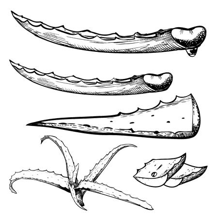 vera: Aloe vera sliced isolated on white background, engraved style Illustration