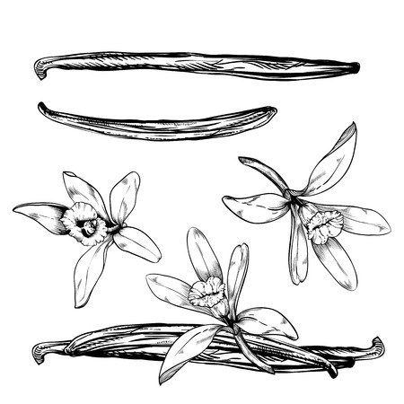 Vanilla pods and flower isolated on white background, engraved style Illustration