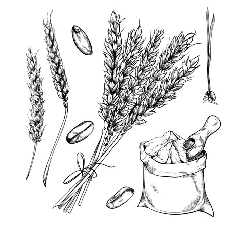 Wheat, rye and barley isolated on white background. Vector wheat. Engraved style. Çizim