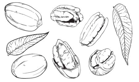 pecan: Pecan on white background. Pecan seeds.
