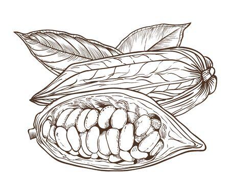 Cocoa Vektor isoliert auf weißem Hintergrund. Kakaobohnen.