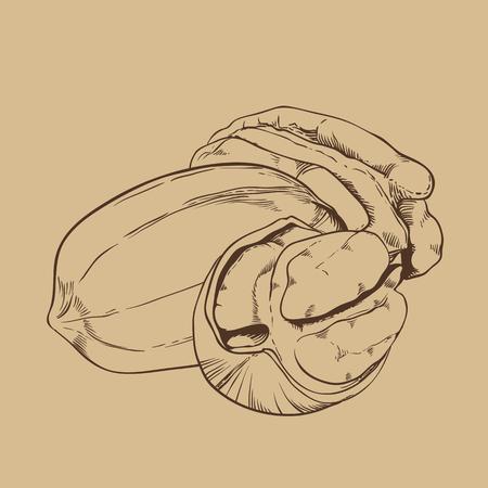 pecan: Pecan vector isolated on brown background. Pecan seeds.