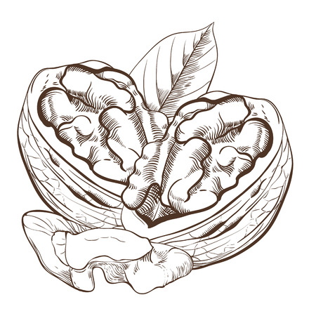 walnut: Walnut vector isolated on white background. Walnut seeds. Engraved vector illustration of leaves and nuts of walnut. Walnut in vintage style.