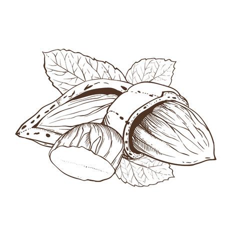 アーモンド ベクトルは、白い背景で隔離。アーモンドの種子。葉とアーモンドのナッツの刻まれたベクトル イラスト。ビンテージ スタイルのアーモンド。