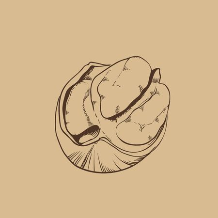 pecan: Pecan vector isolated on brown background. Illustration