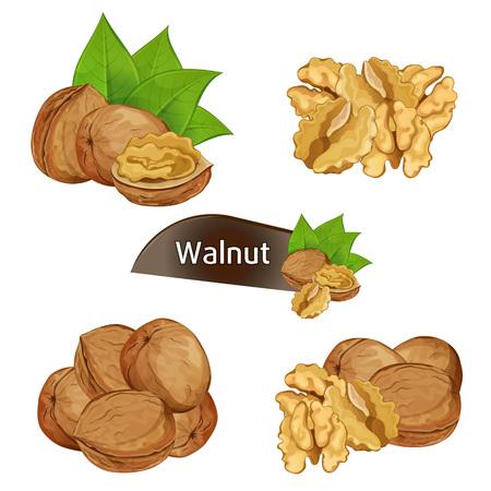 Walnut kernel in nutshell with leaves set