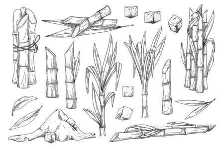 Sugar cane vintage sketch vector set on white