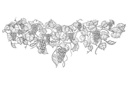 Vintage hand drawn grape branch isolated on white Ilustração