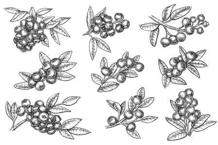 Vector wild blueberry harvest hand drawn sketch