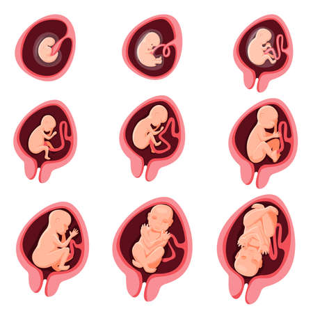 Human embryonic fetal development nine month pregnancy stage. Embryo anatomic prenatal growth cycle from fetation to birth medical infographic element vector illustration isolated on white background Vektorové ilustrace