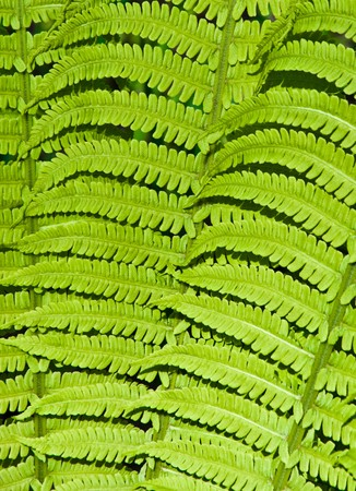 beautiful green background of fern leaves Stock Photo - 6998768