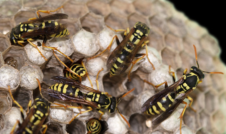 hornets nest with wasps