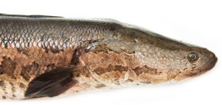 chevron snakehead: snakehead on a white background Stock Photo