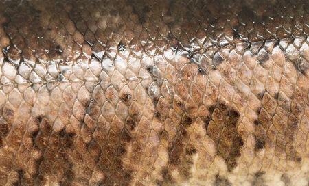 snakehead: Scale snakehead as background