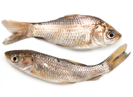 pond smelt: fresh small fish on a white background