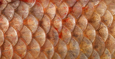 scales on the fish as a background photo