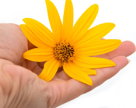 jerusalem artichoke: Jerusalem artichoke flower in hand Stock Photo