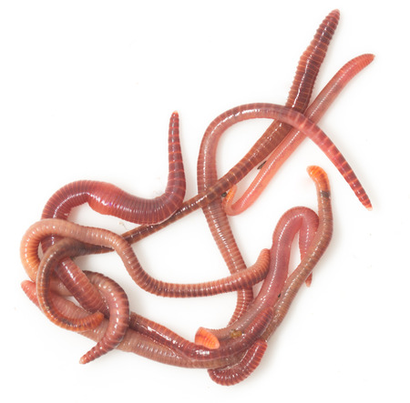 anguine: red worms on a white background