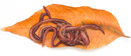 annelida: red worms on a white background