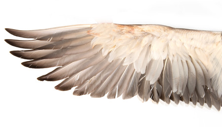 duck wings on a white background photo